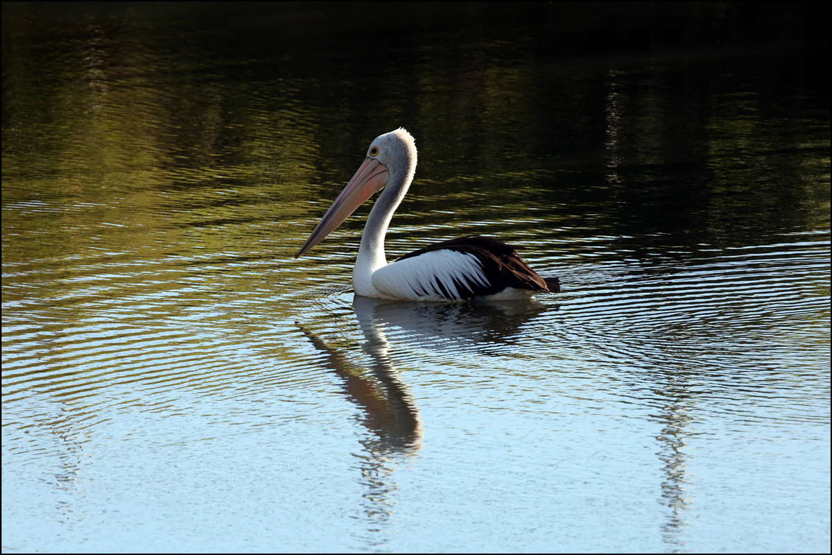 Pelican at Youngs Crossing Petrie