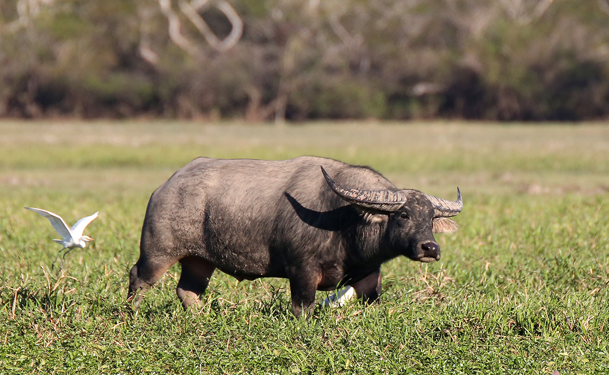 We watched and waited for this buffalo to be taken by the Crocs - but not today